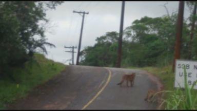 Onças são flagradas em área da Serra do Mar - Vídeo foi registrado por um vigilante do parque.