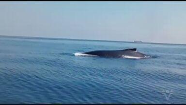 Baleias são flagradas por mergulhadores em Santos - Registro foi feito a 20 quilômetros da costa.