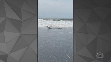 Detetive Virtual investiga se vídeo do jacaré na praia de Santos é verdadeiro - Em um mar com ondas baixas, o bichão, com suas enormes mandíbulas, manda ver em um lanchinho à beira-mar, sem ninguém para incomodar.