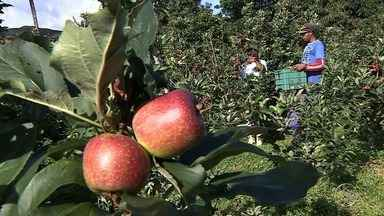 Produtor rural desafia o calor de Sergipe e cultiva uva e maçã - Produtor rural desafia o calor de Sergipe e cultiva uva e maçã.