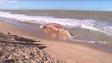 Jubarte é enterrada em praia de Marataízes, ES, após operação que durou cinco horas - Baleia encalhou na praia no sábado (29).