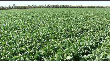 Pesquisadores testam a melhor variedade de soja que se adapta ao clima e solo do TO - Pesquisadores testam a melhor variedade de soja que se adapta ao clima e solo do TO