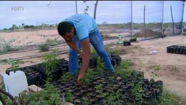 Cultivo do umbuzeiro é resgatado através de projeto do IF Sertão de Ouricuri, PE - Árvore nativa do semiárido está ameaçada de extinção. Iniciativa promove distribuição de mudas prontas para o plantio à comunidade.