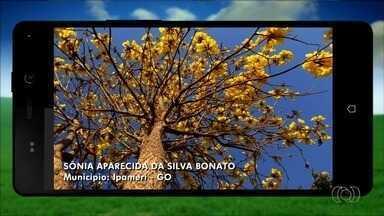 Confira imagens enviadas por telespectadores ao Jornal do Campo - Entre fotos recebidas está imagem de árvore típica do Cerrado, o ipê amarelo.