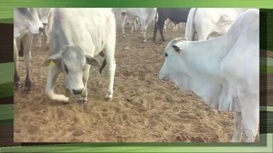 Toxinas na ração causaram a morte de mil animais - Um laudo comprovou que a presença de toxinas na ração causou a morte de mais de mil animais em uma fazenda de Mato Grosso do Sul. Especialistas orientam para os cuidados com a armazenagem e o manejo da alimentação.