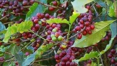 Em ano de baixa produção, a safra do café deve ser ainda menor que a esperada em MG - A colheita de café arábica está quase no fim no sul de Minas Gerais, a principal região produtora do país.