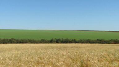 Começa a colheita do trigo em Minas Gerais - Grão tem sido a preferência dos agricultores para safra de inverno.