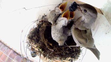 Ninho de sabiá-barranco é registrado. Receita de arroz cremoso (Bloco 02) - Filhotes de sabiá são filmados desde o nascimento. Arroz cremoso leva camarões e mix de queijos.