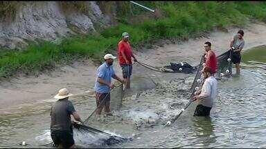 Piscicultores da região norte do Tocantins estão animados com os bons preços do peixe - Piscicultores da região norte do Tocantins estão animados com os bons preços do peixe