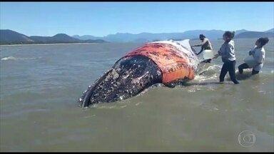 Baleia permanece encalhada em Sepetiba - Uma baleia está encalhada desde quinta-feira (24) em Sepetiba. Os biólogos já confirmaram que o animal não é o mesmo que encalhou em Búzios esta semana.