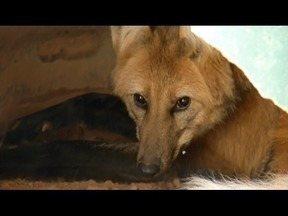 Zoológico de Ipatinga recebe três lobos-guará, que eram criados em cativeiros - Lobinha, Tíbia e Cauê, são da espécie Chrysocyon brachyurus e estão se adaptando a nova moradia.