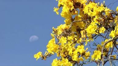 Florada dos Ipês encantam moradores de Londrina - As flores delicadas dessas árvores não duram muito, caminhando com atenção é possível reparar na beleza dessas flores.