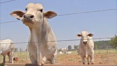Método promete melhor desempenho reprodutivo e alimentar de bovinos da raça Nelore em MS - O aumento do ganho de peso dos animais e redução dos custos sempre foram preocupações dos pecuaristas. Desta forma, pesquisadores desenvolveram esse método.