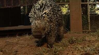 Animais ficam feridos por causa de incêndios em matas de Goiás - Um ouriço, por exemplo, teve todos os espinhos atingidos pelo fogo.