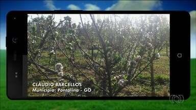 Telespectadores enviam vídeos para o quadro 'Imagens do Campo' - Morador de Pontalina mostra plantação de maçãs.