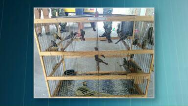 Pássaros são apreendidos - Responsáveis vão pagar 500 reais por cada ave.