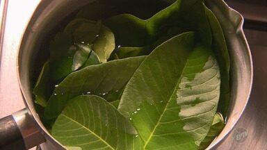 SUS de Valinhos usa chá com folhas de goiaba e pitanga para cicatrização de feridas - Uso das plantas, associado ao tratamento convencional, já surtiu resultados.