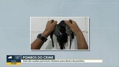 Pombos são capturados levando celular para presídios de SP - Uma ave foi capturada em muralha de presídio em Parelheiros, na Zona Sul de São Paulo. O outro pombo foi apreendido em Franco da Rocha.