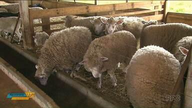 Produtores da região oeste investem na criação de ovelhas - Eles estão investindo na criação em confinamento para aumentar a produtividade.