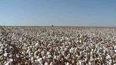 Número de produtores de algodão sofre redução - Número de produtores de algodão sofre redução