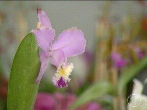 Montes Claros recebe feira de orquídeas - Serão expostas 250 qualidades da planta.