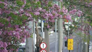 Ipês de Campina Grande sofrem com a estiagem - Especialista explica o motivo das árvores estarem com poucas flores