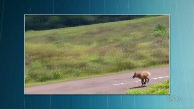 Lobo Guará é visto durante o dia no Parque Estadual de Vila Velha - O animal está ameaçado de extinção e tem hábitos noturnos.