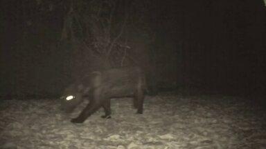 Biólogos registram presença de 6 onças em reserva florestal - A reserva florestal fica à 40 km do Plano Piloto. Foram encontradas onças pardas e preta.