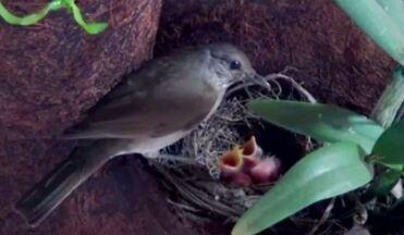 Filhotes de sabiá-barranco são registrados em ninho durante os primeiros dias de vida - Filhotes de sabiá-barranco são registrados em ninho durante os primeiros dias de vida