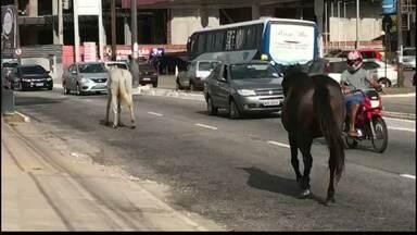 Cavalos caminham soltos em avenida de João Pessoa - O flagrante foi no bairro dos Bancários.
