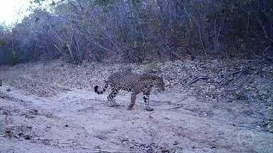 Famílias deixam a região da Serra da Capivara com medo das onças - Pesquisadores estudam o comportamento territorial e a saúde dos felinos. Colônia de pelo menos 60 animais vive no meio da Caatinga.