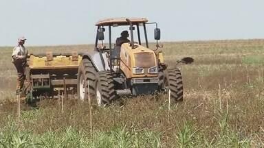Produtores trocam milho por soja no noroeste paulista - Os produtores agrícolas do noroeste paulista estão trocando o milho pela lucrativa soja em áreas de plantio de fazendas.