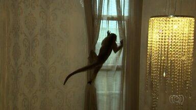 Macaco é capturado após invadir loja de decoração e assustar funcionários, em Goiânia - Câmeras registraram quando animal passeia pelas várias áreas do estabelecimento.