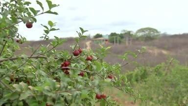 Irrigação garante colheita de acerola durante todo o ano em Maranguape - Confira mais notícias em G1.Globo.com/CE.