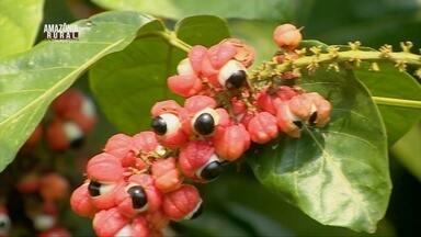 Conheça a cidade do AM que é conhecida como a terra do guaraná - Descubra como fruto se tornou tão importante na vida das pessoas que vivem no município.