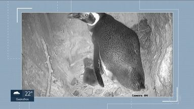 Pinguim nasce no Aquário de São Paulo - Atualmente existem 18 espécies de pinguins no mundo e, segundo cientistas, 40 já foram extintas. É por isso que os pesquisadores estão comemorando.