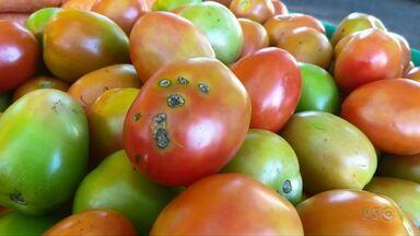 Chuva prejudica produção de hortaliças em Maringá - O preço do tomate dobrou nos últimos dias.