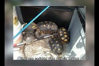 Policia Ambiental apreende espécie de tartarugas ameaçadas de extinção - Quem cria essas espécies em cativeiro sem autorização pode pegar até um ano de prisão e pagar multa.