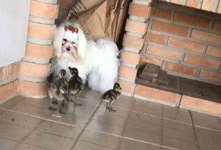 Os marrecos se aproximaram da cadela Lua - Os animais convivem bem e emocionam o advogado Ricardo Presta