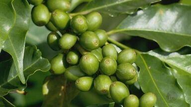 Estimativa de produção de café da Conab preocupado produtores do Sul de Minas - Estimativa de produção de café da Conab preocupado produtores do Sul de Minas