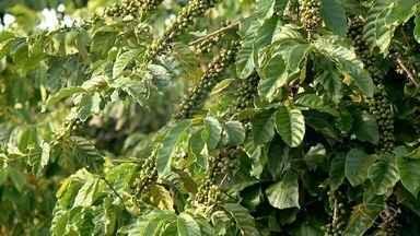 Produtores de conilon do ES estão preocupados com o baixo preço do café - Neste ano, a previsão é de uma produção maior.
