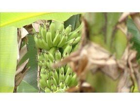 Produtores rurais de Jaíba investem na produção de bananas para exportação - Cidade é modelo no que diz respeito ao agronegócio.