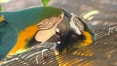 Araras no zoológico do Rio vivem amor proibido há mais de 15 anos - Uma foi criada em cativeiro; a outra mora solta na natureza; apesar das impossibilidades, elas vivem uma paixão que se renova todos os dias.