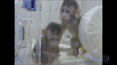 Cientistas chineses anunciam clonagem de macacos - Foi usado mesmo método que produziu a ovelha Dolly, há duas décadas. Zhong Zhong e Huahua nasceram há menos de dois meses e se desenvolvem normalmente.