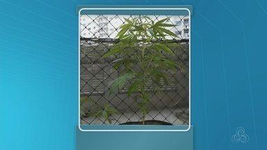 Casal é detido com plantas de maconha em casa, na Zona Centro-Sul de Manaus - Pés de maconha eram mantidos no apartamento da dupla, detida após denúncia anônima.