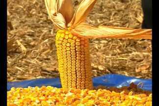 Safra de milho com expectativa de queda de 20% de produtividade - A colheita foi aberta em Giruá, RS, para todo o Estado.