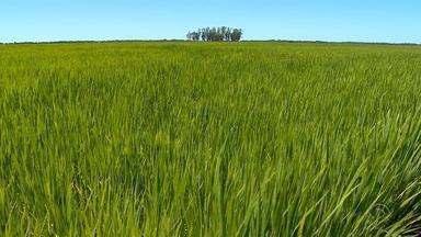 Clima é apontado como principal responsável pela queda na colheita de arroz - Assista ao vídeo.
