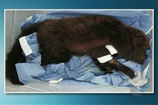 Macaco morre em Mogi das Cruzes por traumatismo craniano - O macaco encontrado no distrito de Taiaçipeba, encostou na rede eletrica que provocou queimaduras e com o choque acabou caindo da árvore.