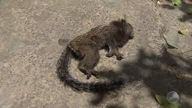 Dois macacos são encontrados mortos no bairro da Baixa de Quintas, em Salvador - A presença destes animais mortos servem para indicar a possível presença do vírus da febre amarela na região.