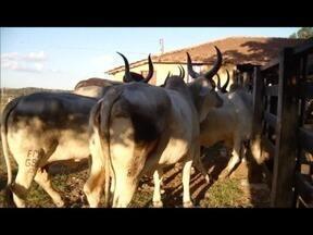 Relembre a qualidade do rebanho de Curvelo, na região central de Minas - Segredo do sucesso está no melhoramento genético de bovinos.